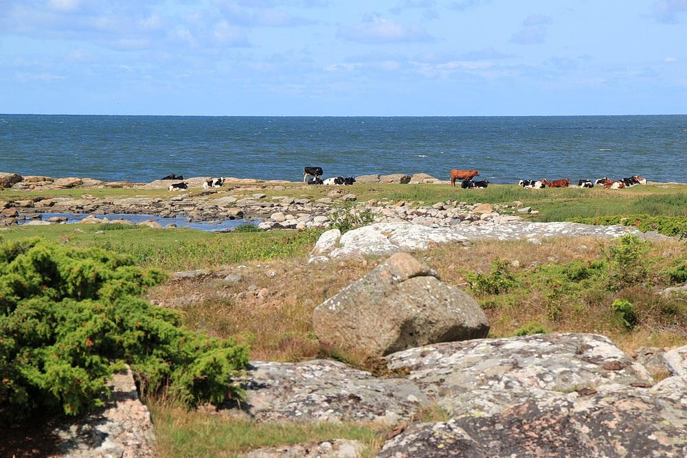 Das Naturreservat wird landwirtschaftlich genutzt. 2 Herden Kühe weiden hier in aller Ruhe.