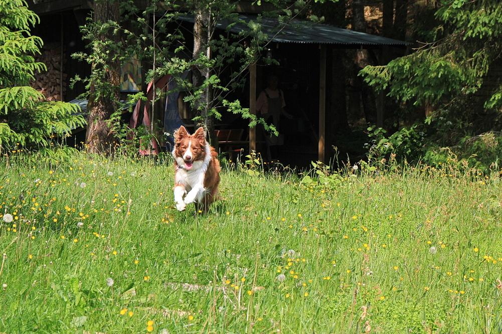Manne hat das Grundstück wieder in Besitz genommen! Zur Sicherheit haben wir jetzt auch die Seite zum Wald eingezäunt und ein Tor an der Einfahrt. Nun können wir auch mal ganz in Ruhe Essen, ohne ständig nach dem Hund zu sehen.