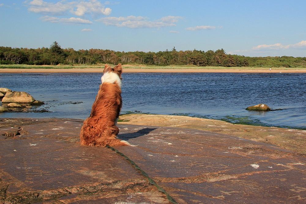 Manne passt auf! Da ist doch gerade ein anderer Hund im Wasser!! Und er darf nicht hin!