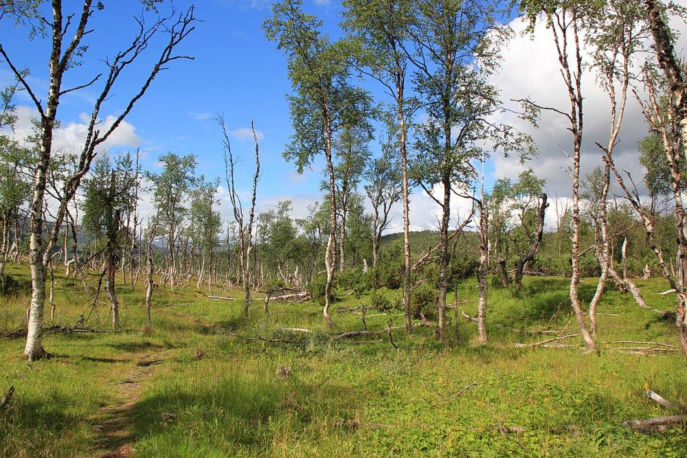 Der Wald ist recht möhlig, viel totes Holz, verkrüppelte Birken und ganz wenig junge Bäume.